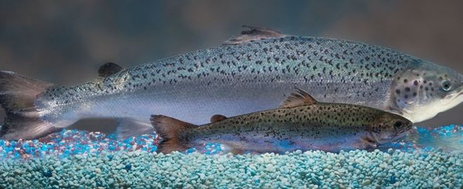 GMO Salmon Approved for Food in U.S. … Kill Me Now